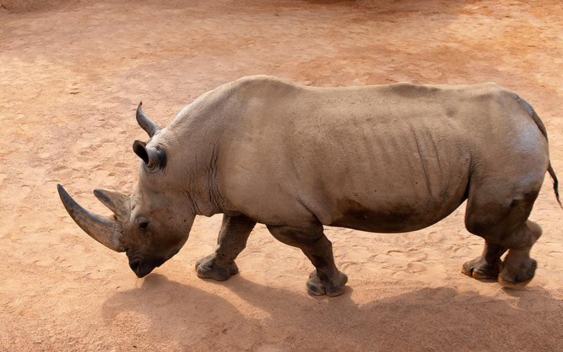 I nosorožce mohou bolet kolena