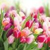 Ubrousky Tulipány 33x33 cm, 20 ks