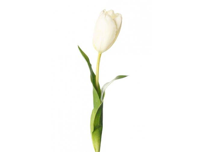 tulipbiely