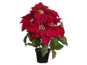 Vianočná ruža v črepníku