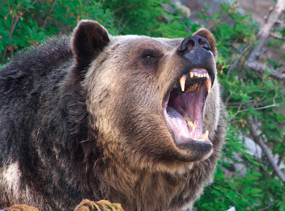 Medve ellen