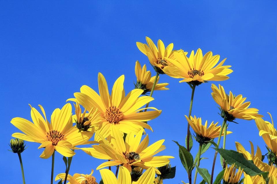 topinambur-kvet