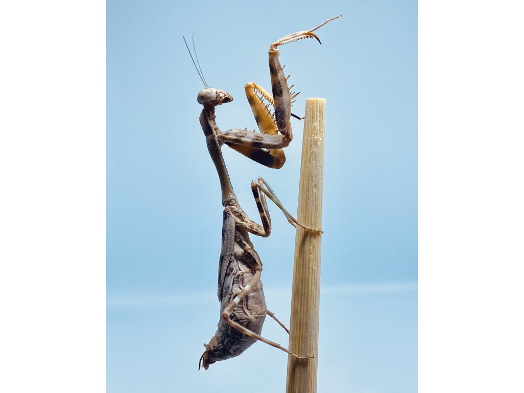 Parasphendale agrionina-samice