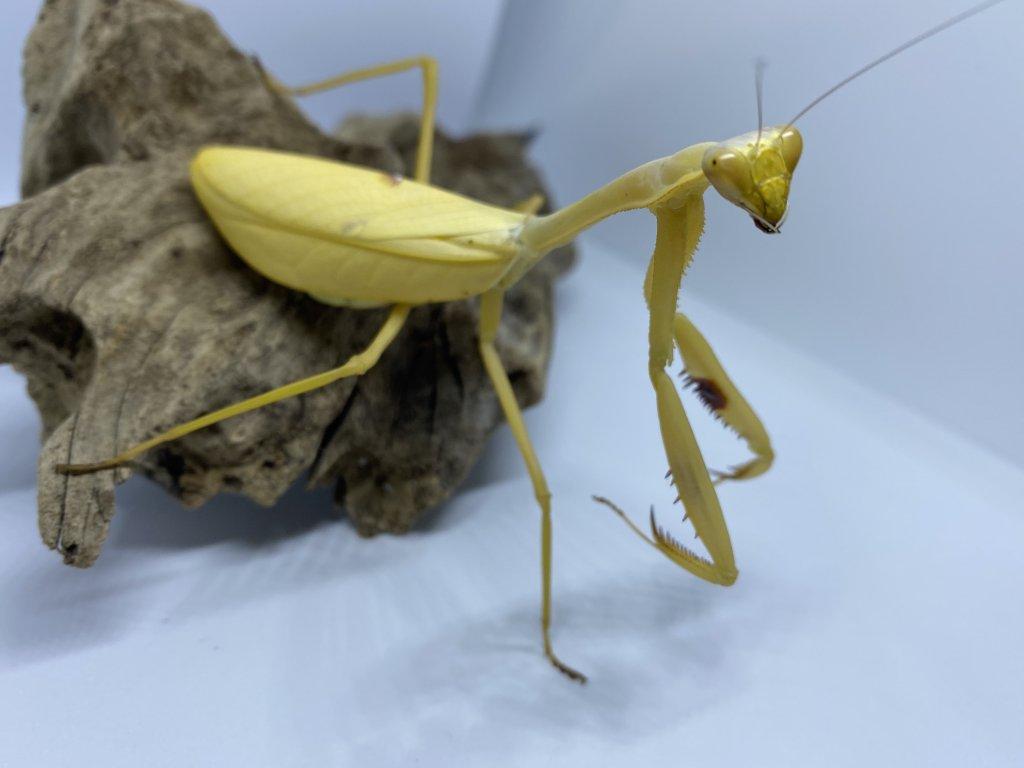 Kudlanka Stagmatoptera femoralis