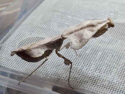 Deroplatys trigonodera - samička