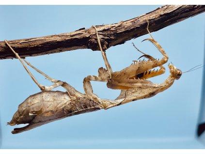 Deroplatys lobata-samice