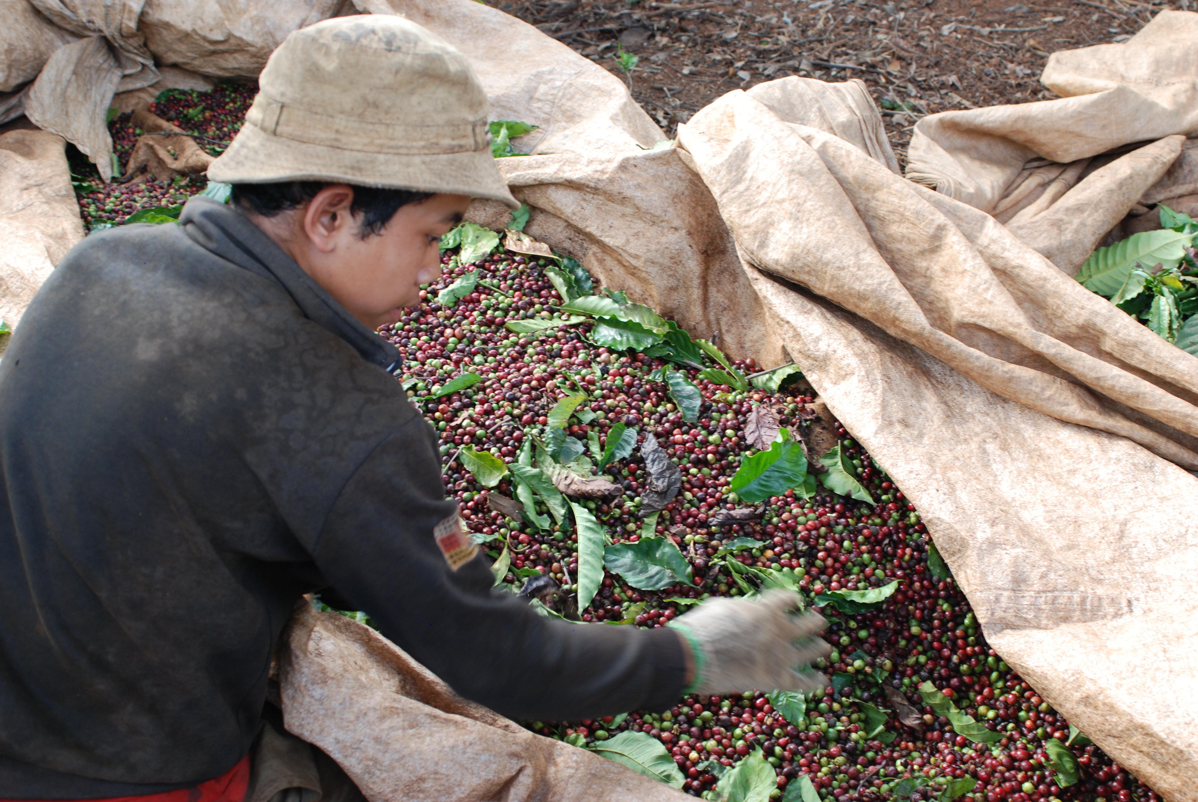 Jak kvalitní je vietnamská káva?