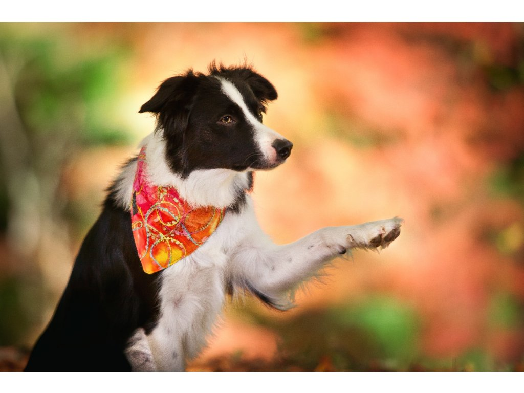 Sunshine satek pro psa na obojek krasny zluty dog scarf collar psi satecek demeven border kolie collie
