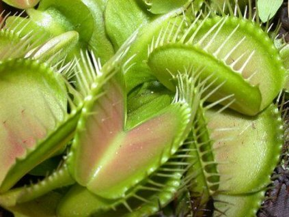Masozravka---zrava-rostlina-na-Deminas