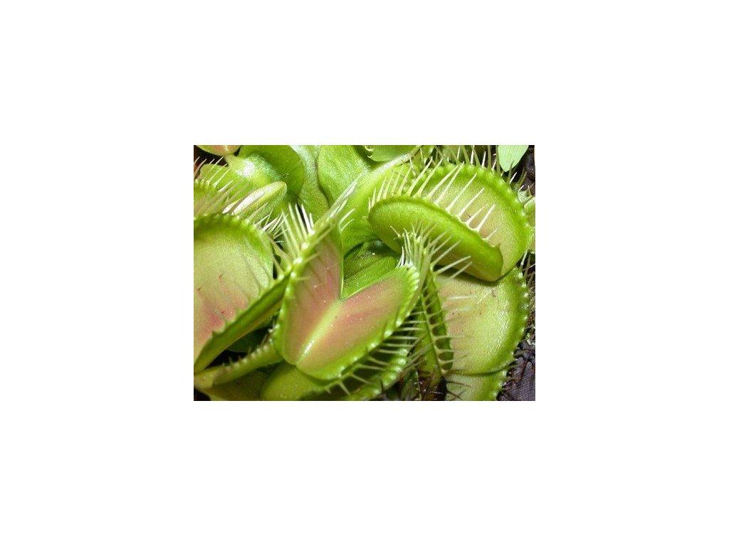 Mäsožravky --- žravé-rastlina-na-Deminas