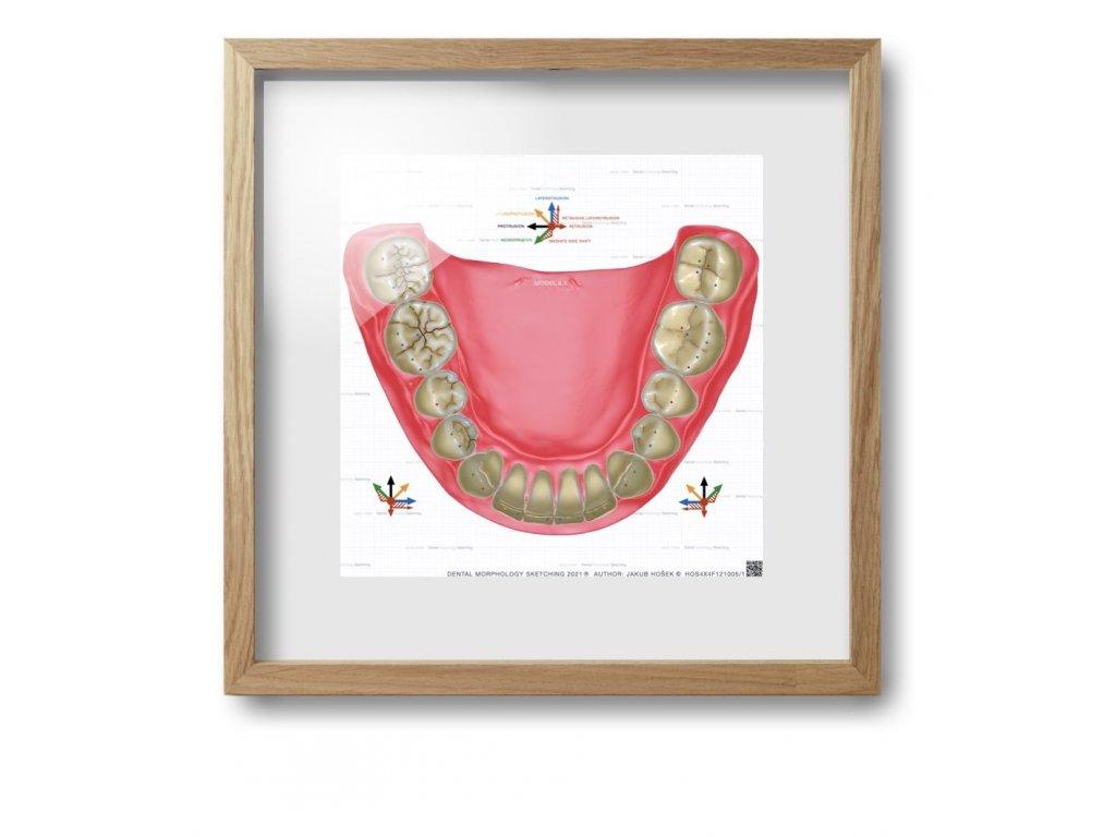 dental morpholodgy pictures.020