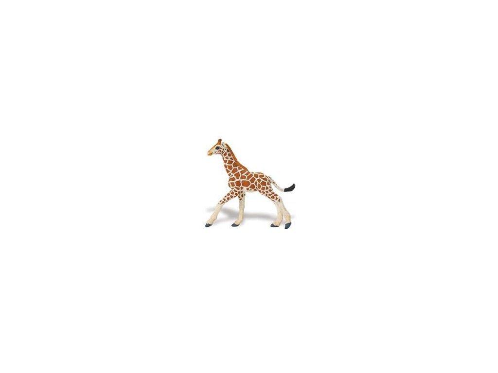 Žirafa sieťovaná - mláďa
