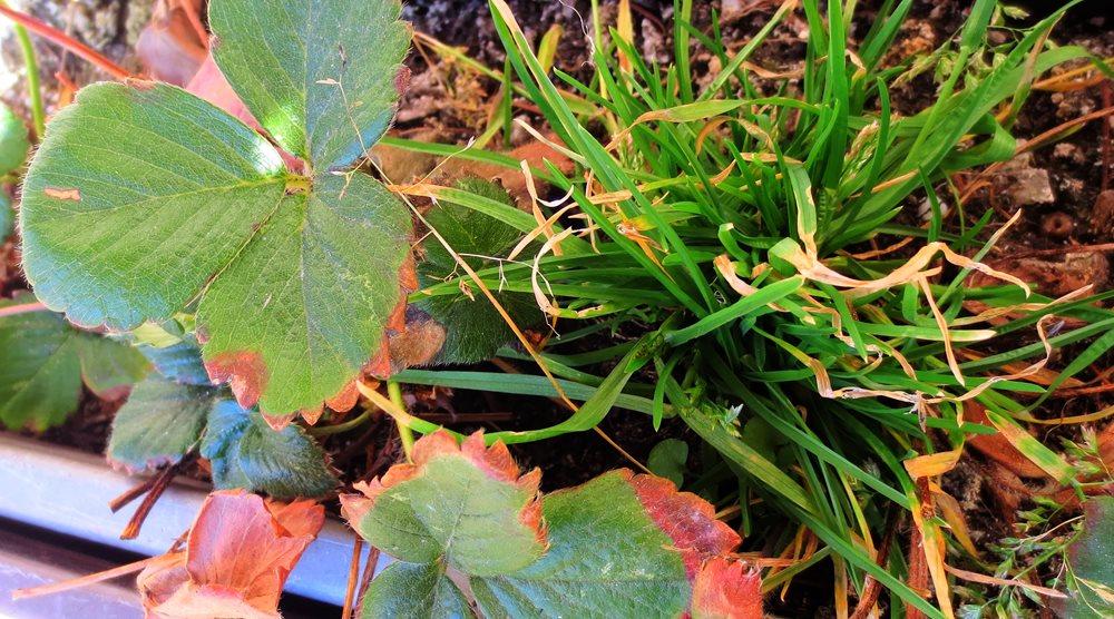Tráva a plevel v jahodách a zelenině