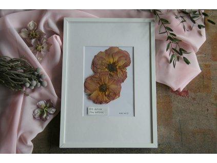 Obraz s růží stolistou