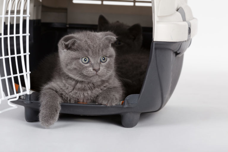 Britské-modré-kotě-v-přepravce-768x511