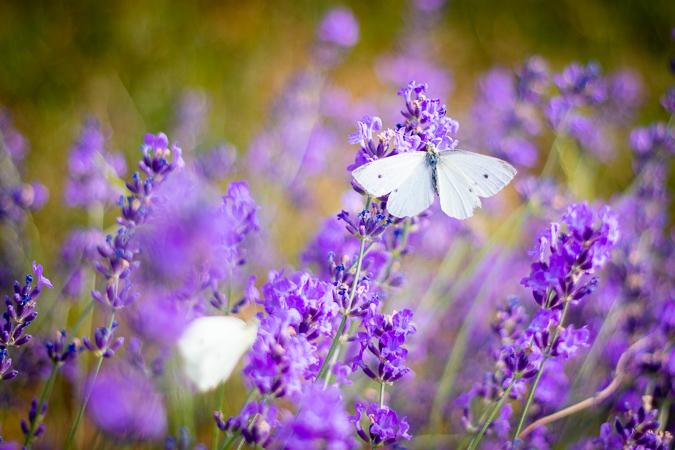 Levandule - fialová kráska z Provence