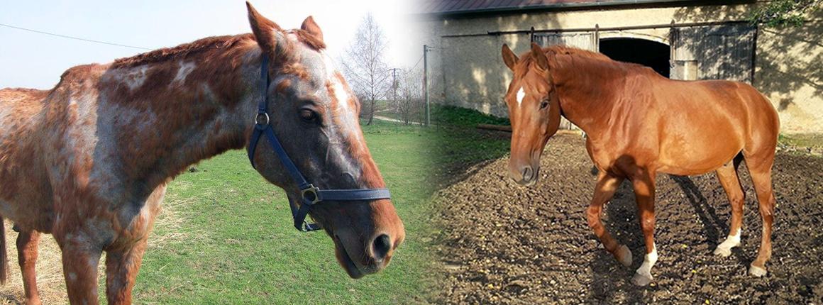 Domov pro koně - Calanthus