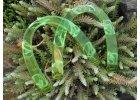 Půlkruhová zelená poloprůhledná ucha