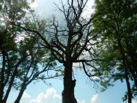 Pohled do korun mohutných stromů