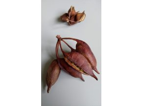 Brachyciton populneus natur 4ks