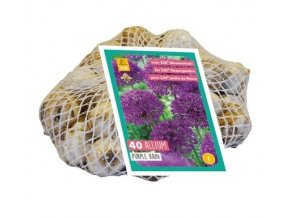 jub allium purple rain 1012 40sts 126891