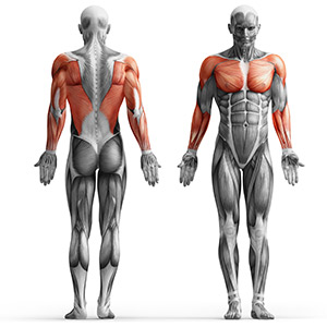 MH-W107_muscles