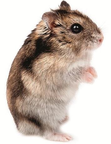 Myši, křečci a menší hlodavci