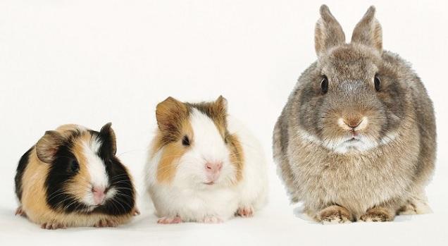 Morčata a králíci