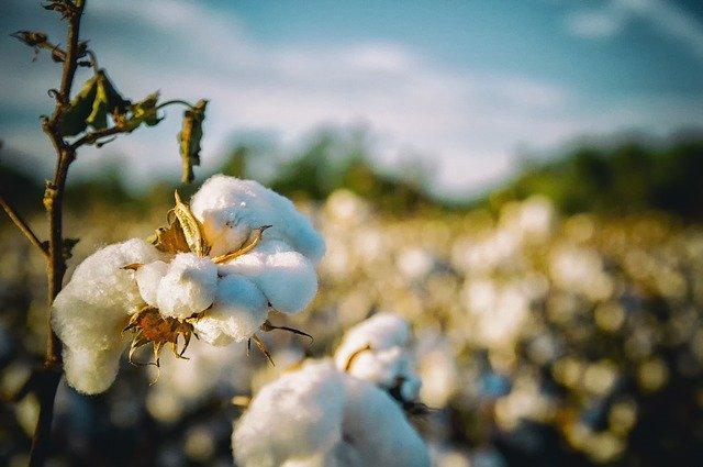 Proč dávat přednost BIO bavlně před klasickou bavlnou?