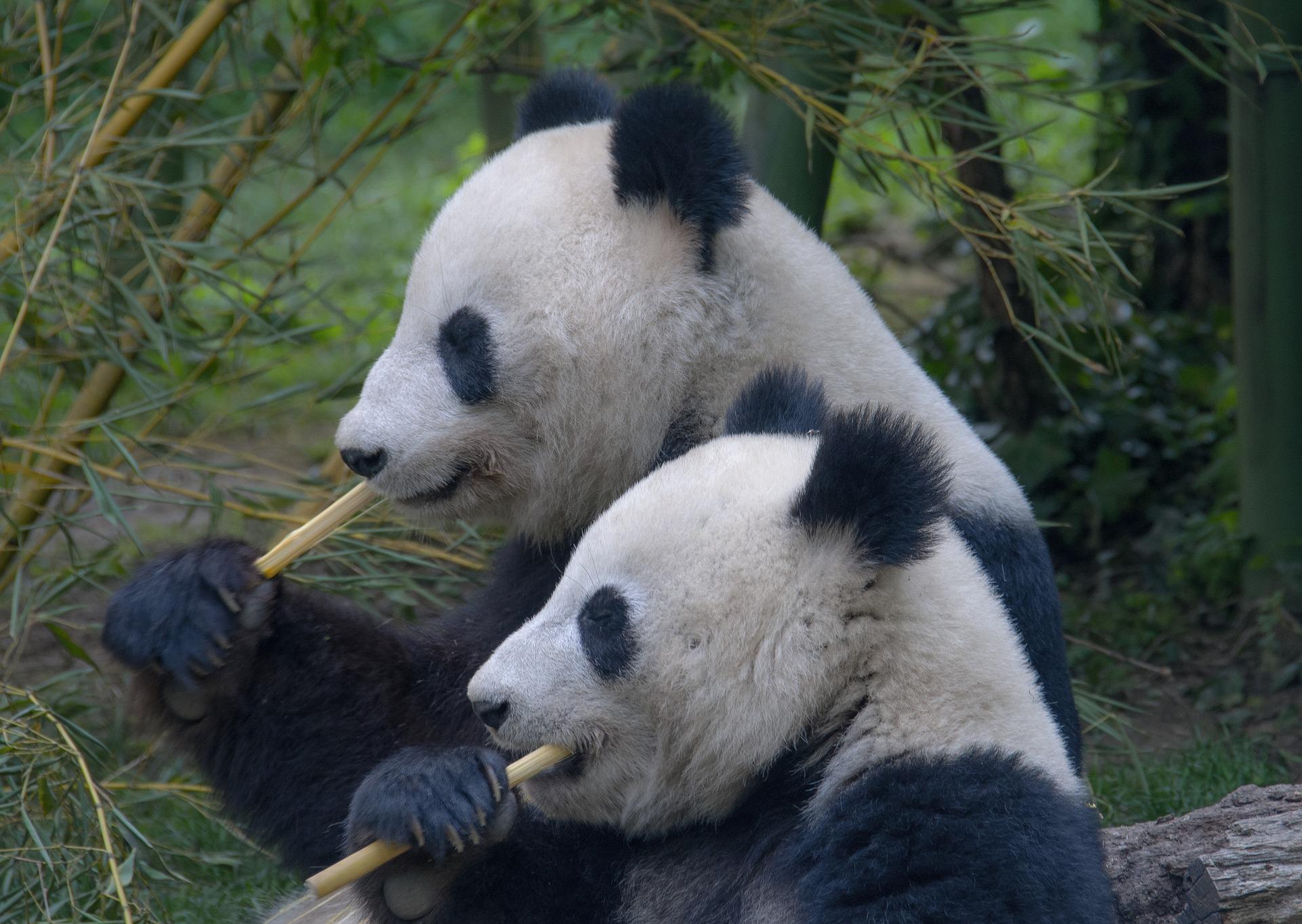 panda-3811734_1920