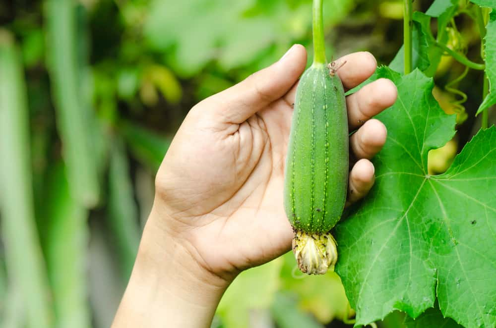 lufa-pestovanie-plody
