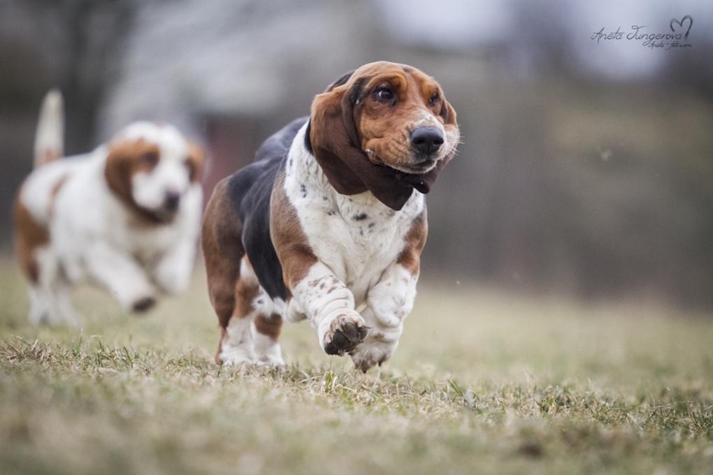 Poškození ledvin u psů