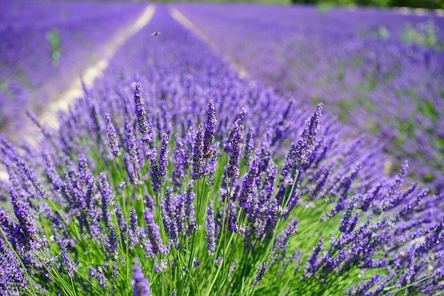 lavender-cultivation-2138398_640