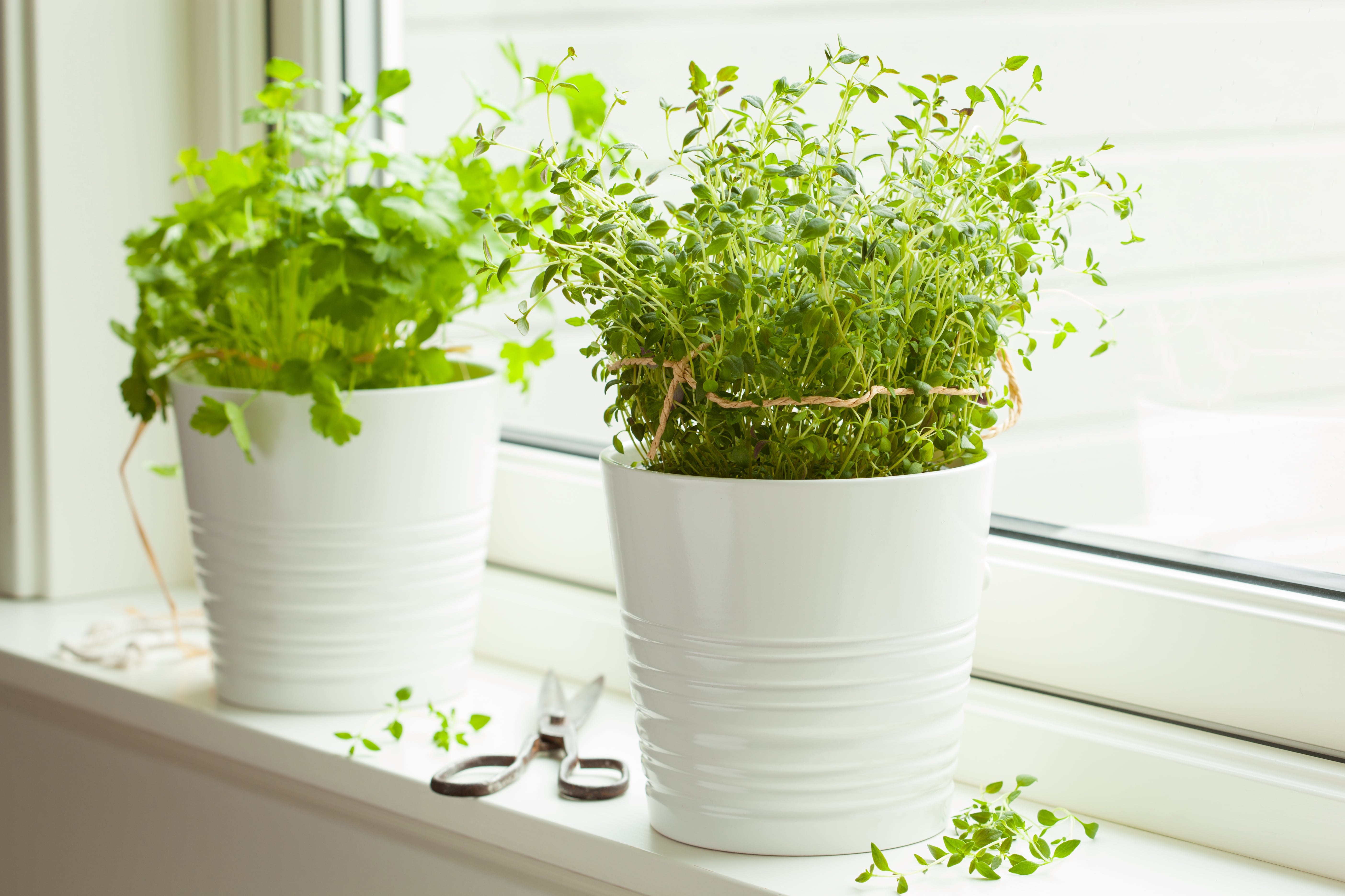 fresh-thyme-and-cilantro-herbs-in-white-pot-on-win-P9LLHFX-min