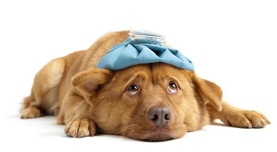 bigstock-Sick-Dog-5954379-min