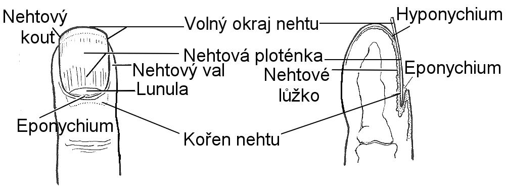 Anatomie_konce_prstu