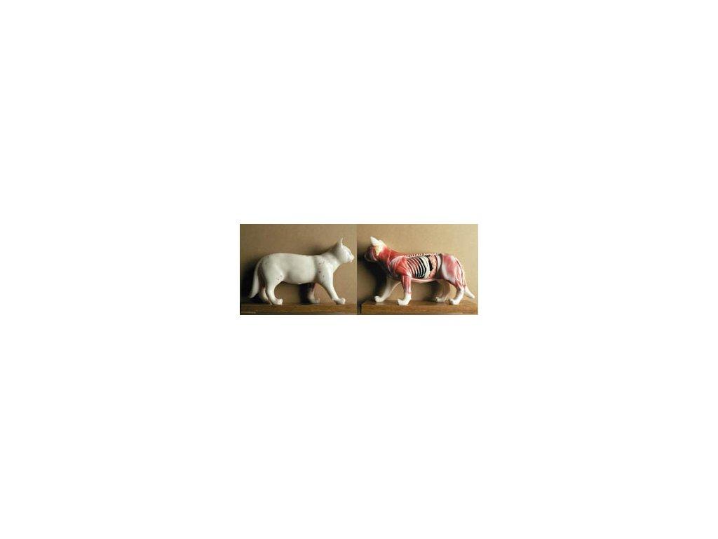 Akupunkturní a šlachosvalový model kočky, 28 cm