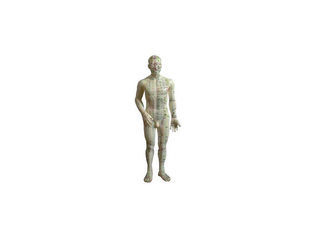 Akupunkturní model muž 50cm