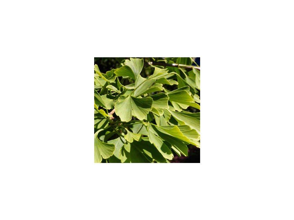 Ginkgo biloba - jinan dvoulaločný list 1kg