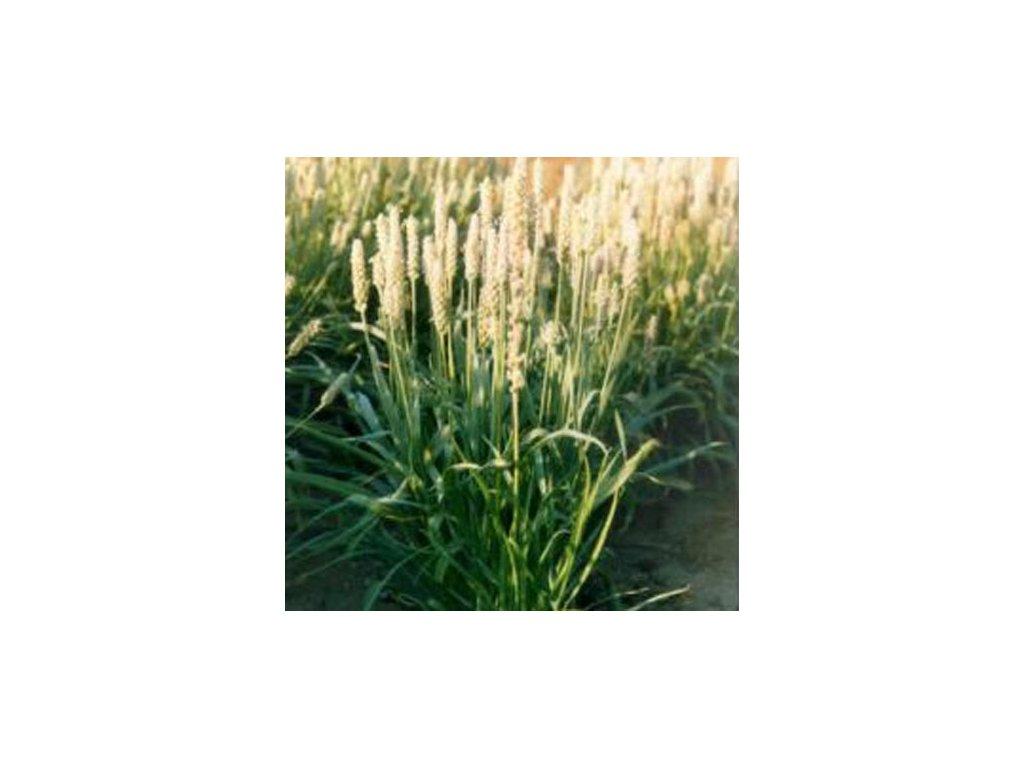 Psyllium bílé - vláknina - Plantago Psyllium - 1kg