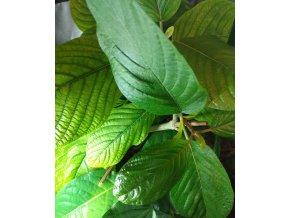 Mitragyna speciosa (kratom) - Green Malay