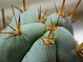 Trichocereus peruvianus x pachanoi (hybrid)