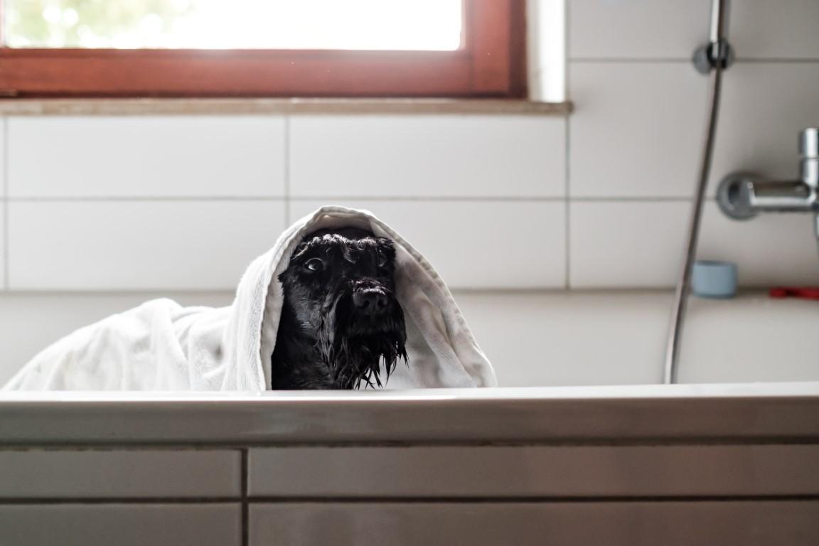 a-wet-black-schnauzer-dog-in-towel-is-bathing-stan-XGZRLNY