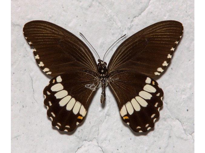 Papilio polytes ledebouria
