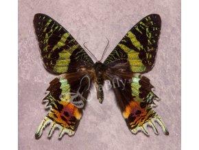 Chrysiridia rhipheus
