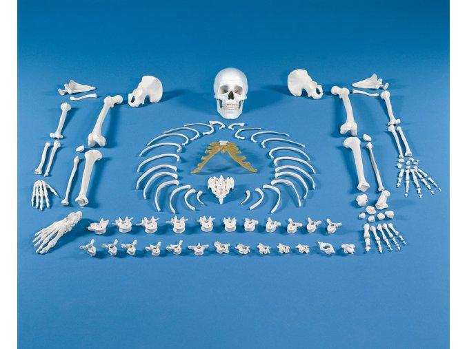 Rozlozena kostra cloveka - soubor kosti