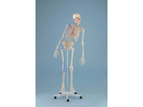 """Kostra cloveka - model """"Max"""" s ohebnou pateri, vyznacenymi svaly a vazy"""