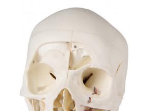 lebka cloveka 14 dilny didakticky model erler zimmer