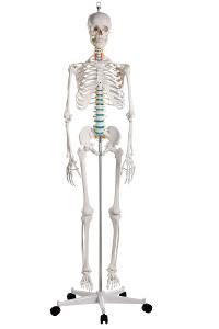 Emberi csontváz modellek