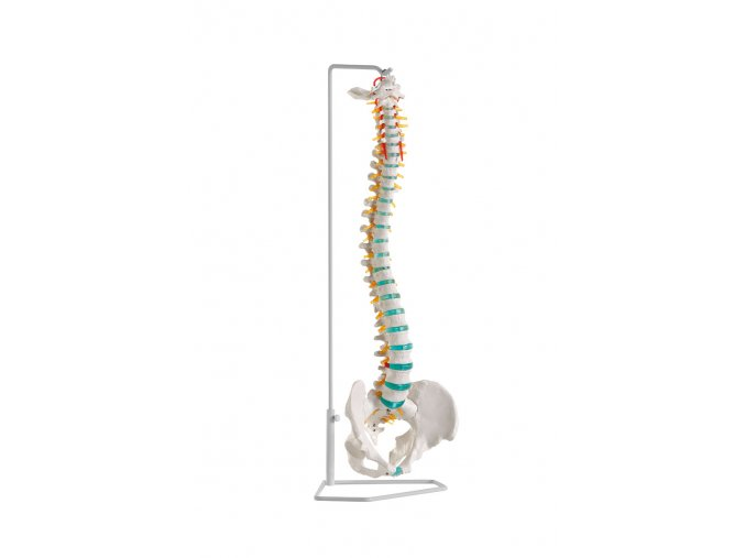 erler zimmer rugalmas emberi gerincoszlop medencevel modell